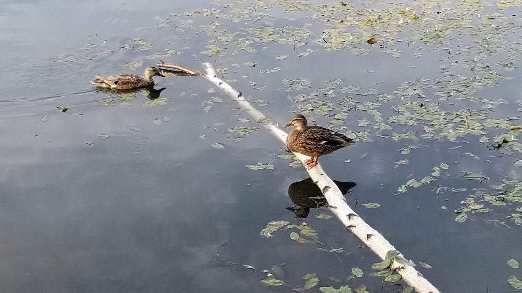 Canards dans le parc de la Sauvagine